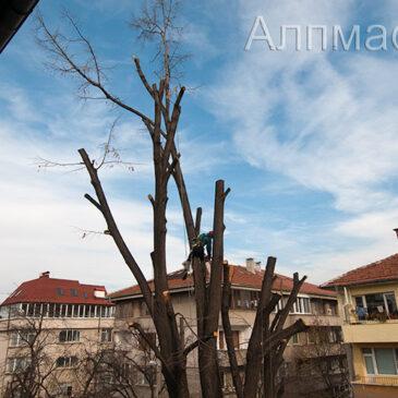 Кастрене и оформяне на вековно дърво